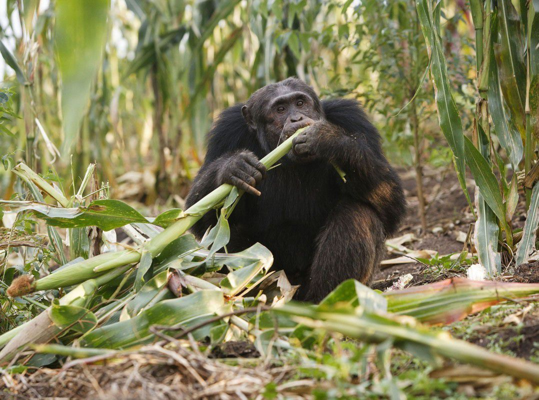 Ouganda: Les pesticides responsables de l'apparition des singes mutants