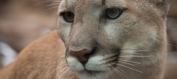 Le célèbre puma Cougar est officiellement éteint depuis mercredi