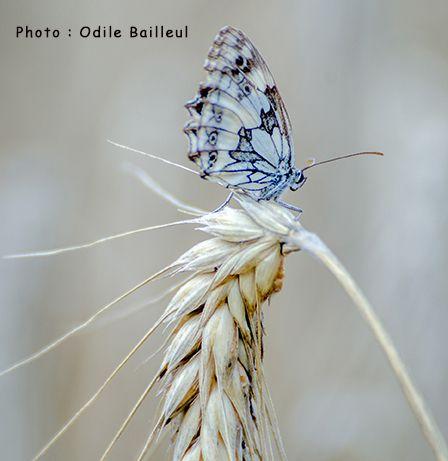 Papillon sur épi par Odile Bailleul
