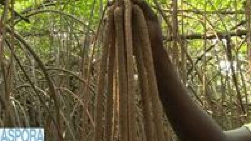26 juillet, Journée internationale pour la conservation de l'écosystème des mangroves