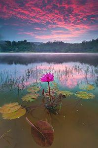 lotus-pink-sun
