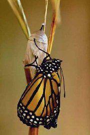 Papillon-et-cocon.jpg