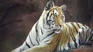 pikinasso-tigre