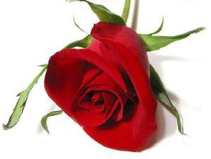 rose rouge-copie-1
