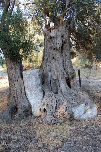 734k5 Gortyne, olivier âgé de 1600 ans et colonne