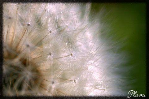 fleurdepissenlit.jpg