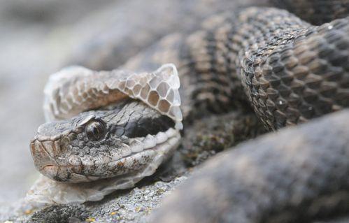 Fotografie di una vipera che cambia pelle  Serpenti
