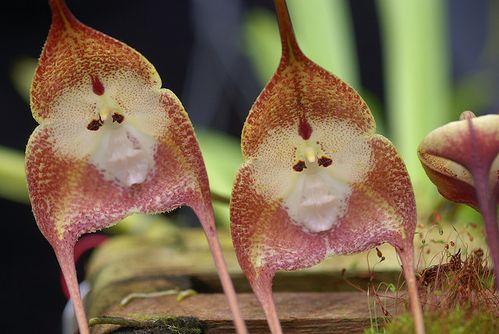 monkey_orchid_2.jpg