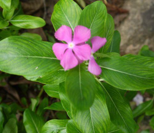 Madagascar-Periwinkle-pink.JPG