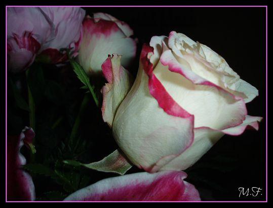 Rose-tendresse.jpg