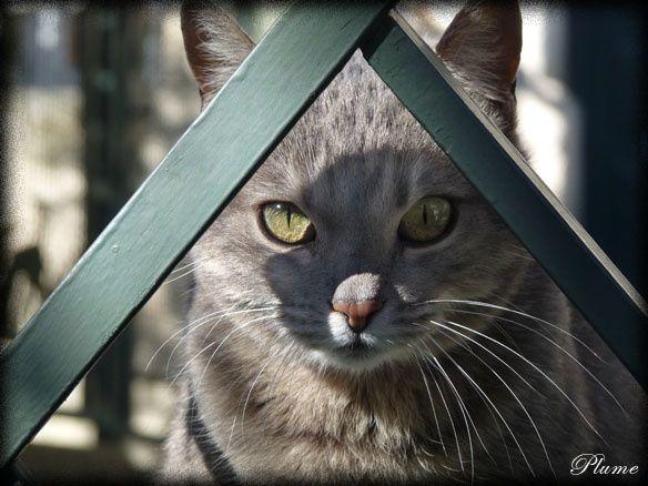 chatgrisbarreau.jpg