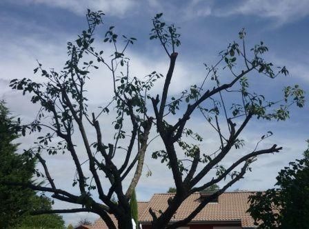 j ai coupe toutes les branches au dessus des moignons qui existaient d une precedente taille en n en laissant que quelques unes raccourcies elles aussi