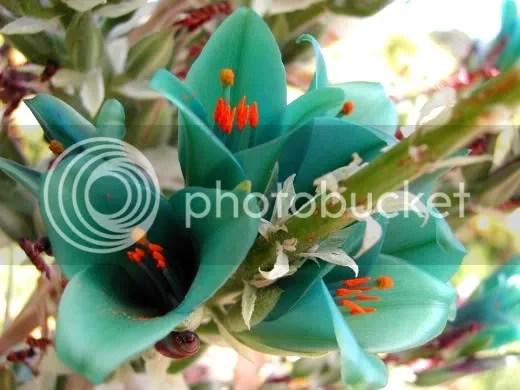 Turquesa Puya berteroniana