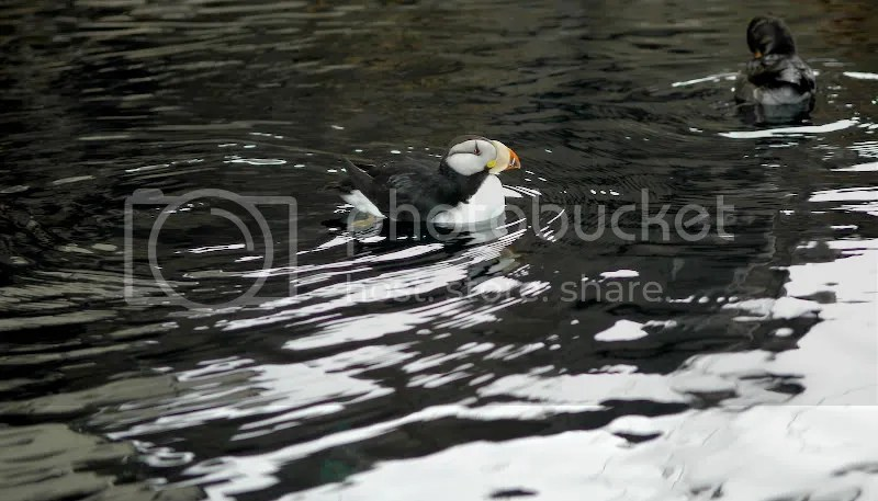 pics of tufted puffins at the Sea Life Center Seward, Alaska by Arun Shanbhag
