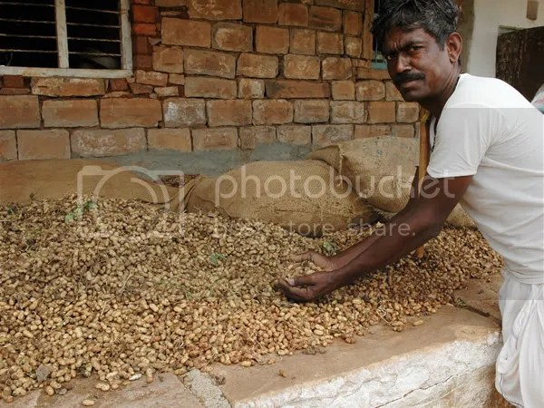 Peanut farm in Northern Karnataka pics by Arun Shanbhag