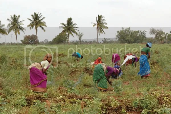 women weeding at a peanut farm in Northern Karnataka pics by Arun Shanbhag