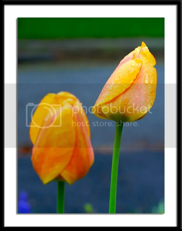 pictures of Tulips by Arun Shanbhag