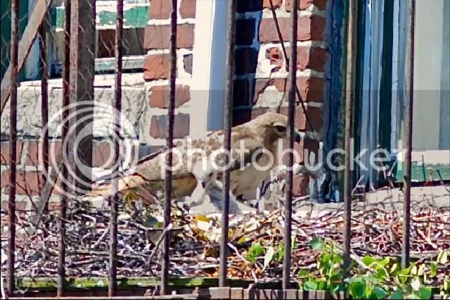 Boston, red-tailed hawk, Chicks