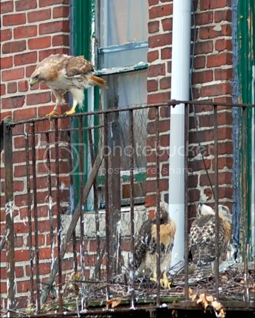 Nesting Red-tailed Hawk in Boston