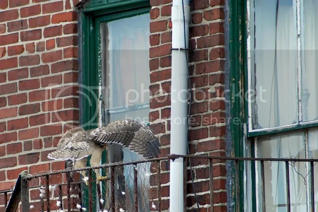 Boston Red-tailed hawk