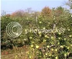 Little apple trees, ripe for the picking