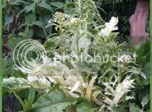 How to harvest horseradish