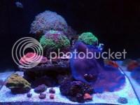 Sale Blue Haddoni Carpet Anemone - Carolina Fish Talk