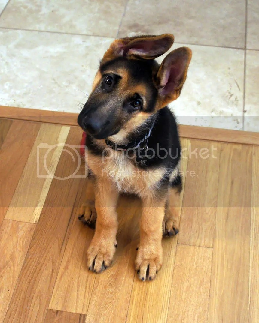 14 Week Old Shepherd German
