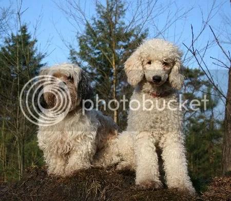antiallergische honden labradoodles ruwharige teckel
