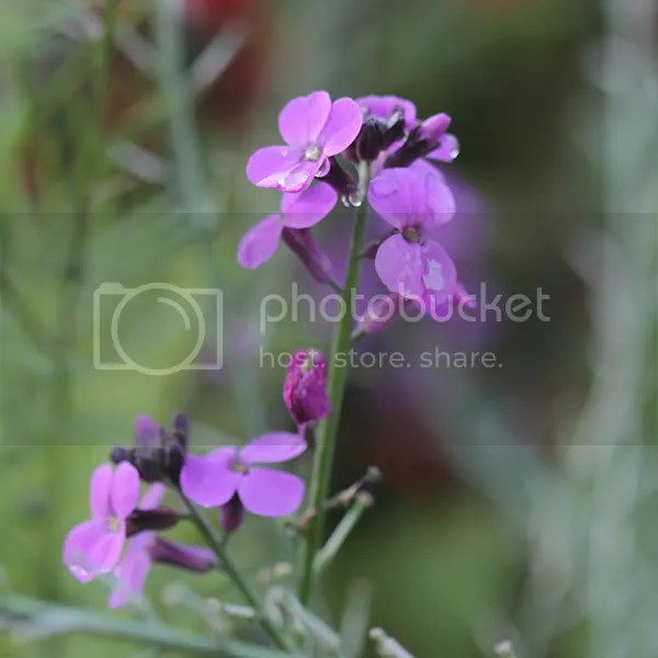 Erysimum 'Bowles Mauve' shines with water dew