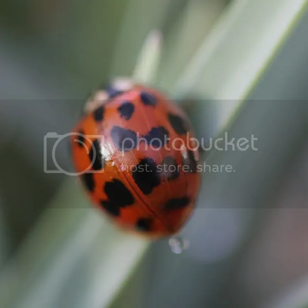 Harlequin Ladybird looking for somewhere to overwinter
