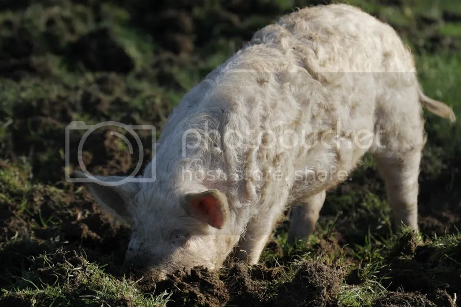 Curly Pig