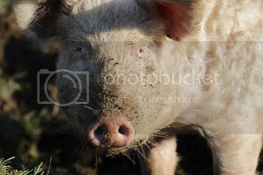 Curly Pig face