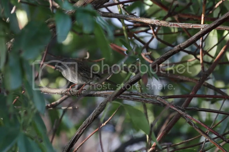 Dunnock in shrub