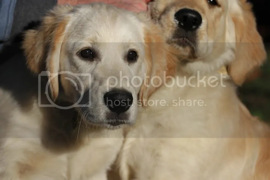 Retriever Puppies