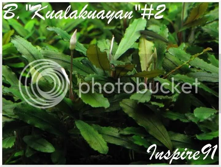 B.Kualakuayan#2
