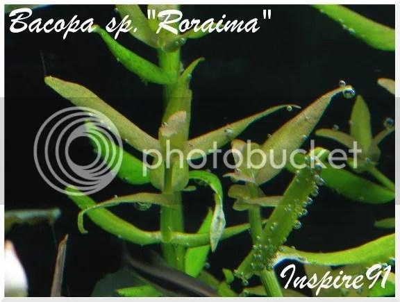 Bacopa Roraima