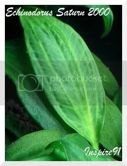 E.Saturn leaf