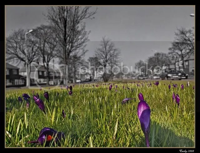 crocus, south shields