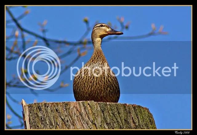 Duck, North Marine Park, South Shields