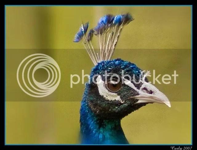 Peacock, Jesmond Dene, Newcastle