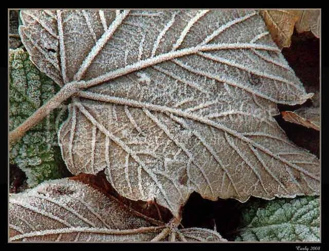 frosty leaves, South Shields