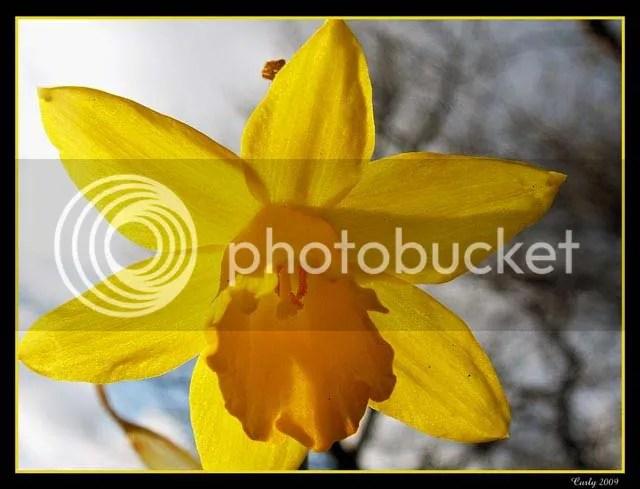 Daffodil, Readhead Park, South Shields