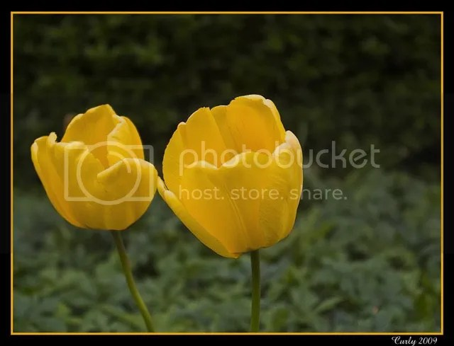 tulips, South Shields