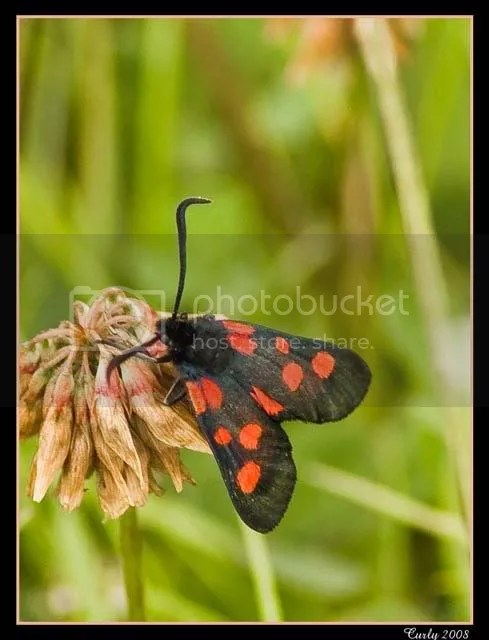 six spot burnet, south shields