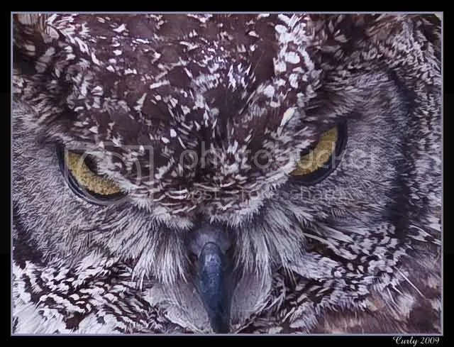 Eagle owl, medieval fair, jarrow