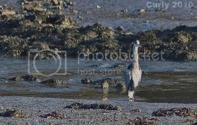 Grey Heron, River Don, Jarrow