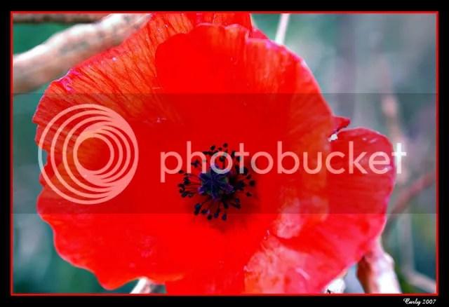 poppy near South Shields