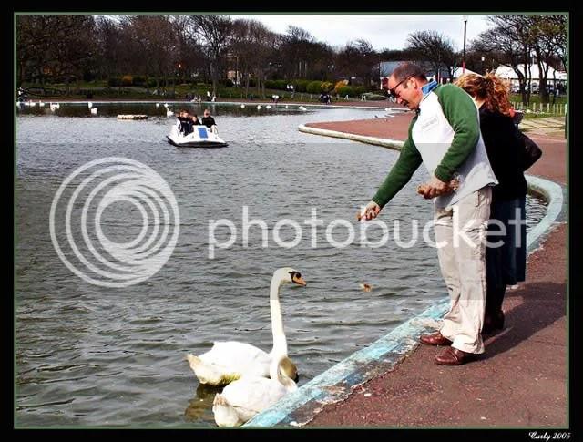 Feeding swans, south marine park, south shields
