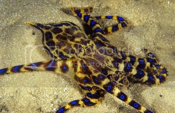 Blue Ringed Octopus on toddler prowl